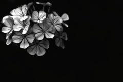 Fleur d'isolement sur le noir photographie stock libre de droits