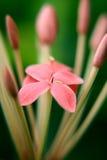 Fleur d'Ixora Photo libre de droits