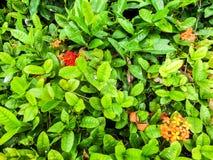 Fleur d'Ixora photos libres de droits