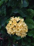 Fleur d'Ixora Photographie stock libre de droits
