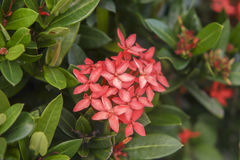 Fleur d'Ixora Images libres de droits