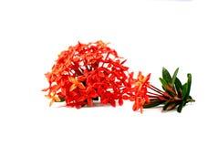 Fleur d'Ixora ou fleur de transitoire d'isolement sur le fond blanc photographie stock