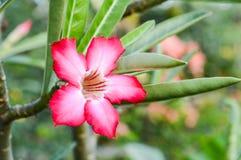 Fleur d'Obesum d'Adenium Image stock