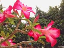 Fleur d'Obesum d'Adenium Photographie stock libre de droits