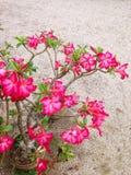 Fleur d'Obesum d'Adenium Photographie stock