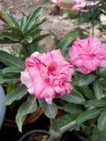 Fleur d'Obesum d'Adenium Photos stock