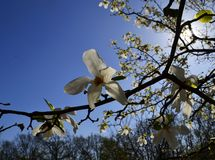 Fleur d'obovata de magnolia dans le jardin botanique national de Gryshko dans Kyiv, Ukraine Photo libre de droits
