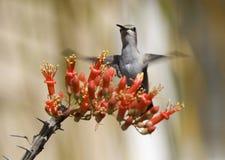 Fleur d'Ocotillo de colibri images libres de droits