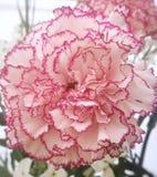 Fleur d'oeillet Photographie stock libre de droits