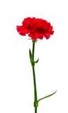 Fleur d'oeillet d'isolement photo stock