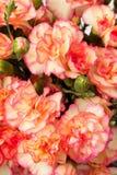 Fleur d'oeillet de jet Photo stock