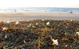 Fleur d'oenothère biennale photo libre de droits