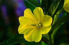 Fleur d'oenothère biennale avec des baisses de rosée Photo stock