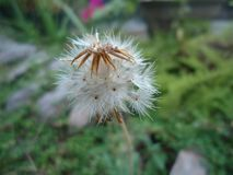 Fleur d'officianale de Taraxacum du Sri Lanka photos libres de droits
