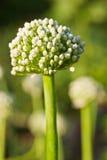 Fleur d'oignon photographie stock