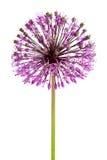 Fleur d'oignon Photos libres de droits