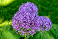 Fleur d'oignon Image stock