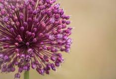 Fleur d'oignon Photographie stock libre de droits