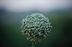 Fleur d'oignon Photos stock