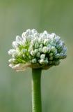 Fleur d'oignon Images stock