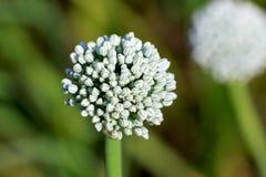 Fleur d'oignon Photo libre de droits