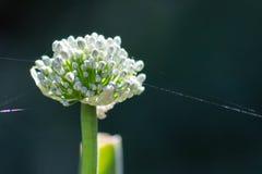 Fleur d'oignon avec la toile d'araignée Photo stock