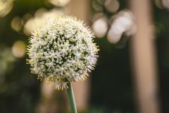 Fleur d'oignon blanc photographie stock