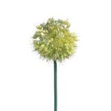 Fleur d'oignon blanc sur le fond blanc Photographie stock