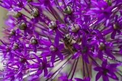 Fleur d'oignon d'allium avec l'abeille image libre de droits