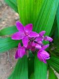 Fleur d'Okid Photo libre de droits