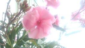 Fleur d'oléandre Photographie stock