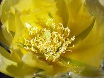 Fleur d'opuntia images stock