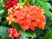 Fleur d'orange d'Ixora photographie stock libre de droits