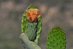 Fleur d'orange de figue de Barbarie Photo libre de droits