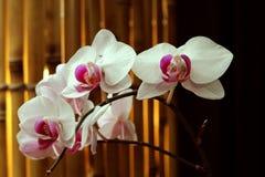Fleur d'orchidée à l'hiver ou à la journée de printemps pour la beauté de carte postale Photo libre de droits