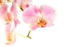Fleur d'orchidée Photos stock