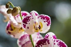 Fleur d'orchidée Photos libres de droits