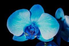 Fleur d'orchidée bleue Photo libre de droits