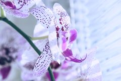 Fleur d'orchidée contre une fenêtre avec les abat-jour vénitiens Macro image avec la profondeur du foyer photo libre de droits