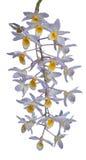 Fleur d'orchidée d'isolement Photos libres de droits