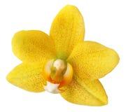 Fleur d'orchidée d'isolement photographie stock libre de droits