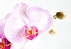 Fleur d'orchidée d'isolement sur le blanc Photo stock