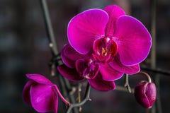 Fleur d'orchidée dans la fin tropicale de jardin  Fleur d'orchidée de Phalaenopsis Image stock