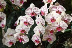 Fleur d'orchidée dans le jardin à l'hiver ou à la journée de printemps Image stock