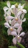Fleur d'orchidée dans le jardin d'orchidée de Singapour Images stock