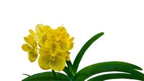 Fleur d'orchidée de beauté Photo libre de droits