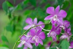 Fleur d'orchidée de Beautifum dans le jardin Images libres de droits