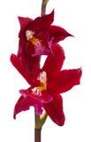 Fleur d'orchidée de cambria de fleurs d'orchidées Photos libres de droits