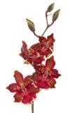 Fleur d'orchidée de cambria de fleurs d'orchidées Photographie stock libre de droits