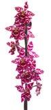 Fleur d'orchidée de cambria de fleurs d'orchidées Images stock